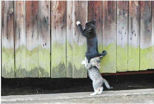 two cats teamwork fence gray white